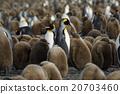 帝王企鵝 親子 父母和小孩 20703460