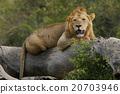 獅子 野生動物 哺乳動物 20703946