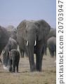 african, elephant, loxodonta 20703947