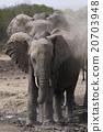african, elephant, loxodonta 20703948