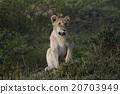 獅子 野生動物 哺乳動物 20703949