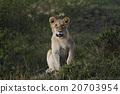 獅子 哺乳動物 非洲 20703954