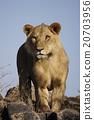 獅子 野生動物 非洲 20703956