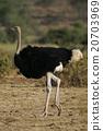 鴕鳥 禽 野生動物 20703969