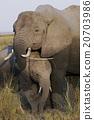 african, elephant, mammalian 20703986