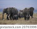african, elephant, loxodonta 20703996