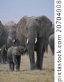 african, elephant, loxodonta 20704008