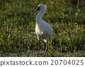 火烈鳥 禽 非洲 20704025