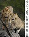 獅子 野生生物 哺乳動物 20704055