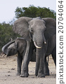 african, elephant, wild 20704064