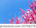 ลูกท้อ,บ๊วย,ดอกไม้ 20708278