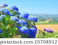 Hydrangea Hortensia 20708912