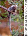 Lemur on climbing tree 20714690