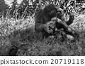 bonobo family portrait in black and white 20719118
