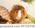 荷蘭豬 阿比西尼亞人 捲髮 20720746