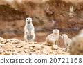 meerkat or suricate 20721168