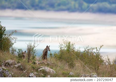 couple of Apennine wolfs 20729047