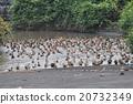 巴厘島 鴨子 鴨 20732349