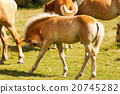 foal, brown, white 20745282