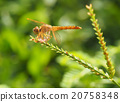 closeup dragonfly 20758348