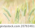 Barley field 20763461