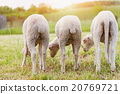 Three sheep grazing on green meadow, back view 20769721