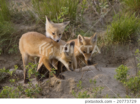 Young Fox Kit 20773729