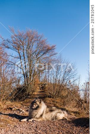 Wolfspitz  20781045