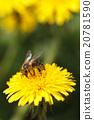 bee dandelion flower 20781590