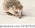 Small Funny Hedgehog On Wooden Floor 20787918