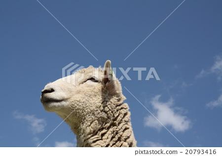 綿羊 20793416