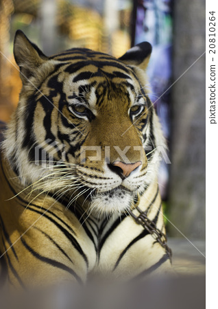 Behavior of the tiger 20810264