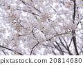 Cherry tree 20814680