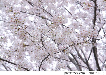 벚꽃 나무 20814680