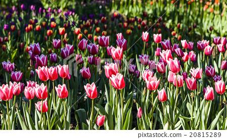 Tulip flower sea 20815289