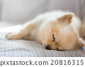 Pomeranian dog sleeping on sofa, with copy space 20816315