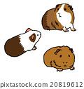 荷蘭豬 插圖 插畫 20819612