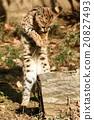 貓 貓咪 小貓 20827493