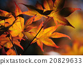 Leaves of Japanese Maple Tree 20829633