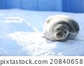 海狗 密封 在雪上 20840658