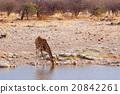 Giraffa camelopardalis near waterhole 20842261