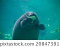 겨울의 오키나와 관광 / 츄라 우미 수족관 바다소의 식사 풍경 20847391