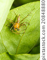 Jumping spider on green leaf 20848880