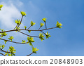 First leaves on tree in spring 20848903