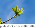 First leaves on tree in spring 20848904