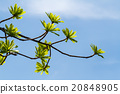 First leaves on tree in spring 20848905