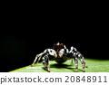 Spider on green leaf 20848911