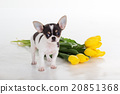 Chihuahua dog with bouquet of yellow tulips  20851368