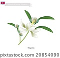 Siebold's Magnolia The National Flower 20854090