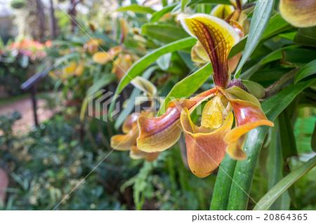 Close up paphiopedilum (orchid) in public garden 20864365